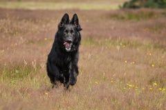 Fonctionnement noir de berger allemand Photographie stock