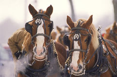 Fonctionner de chevaux de trait Images libres de droits