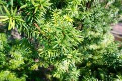 Fond à feuilles persistantes d'arbuste Photo libre de droits