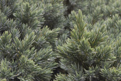 Fond à feuilles persistantes de genévrier Image libre de droits