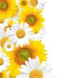 Fond, été ou source de marguerite saisonniers Photos stock