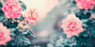 Fond étonnant de nature de roses dans la couleur en pastel Image libre de droits