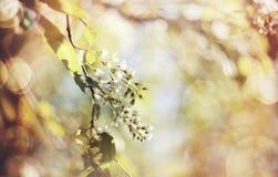 Fond abstrait avec la branche de la cerise d'oiseau de floraison Photo stock