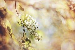Fond abstrait avec la branche de la cerise d'oiseau de floraison Image stock