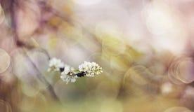 Fond abstrait avec la branche de la cerise d'oiseau de floraison Photos libres de droits