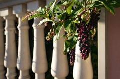 Fond abstrait d'été avec des pokeberries Photos libres de droits
