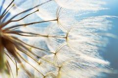 Fond abstrait de fleur de pissenlit, plan rapproché avec le foyer mou