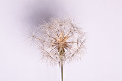 Fond abstrait de fleur de pissenlit, plan rapproché extrême. Images stock