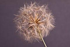 Fond abstrait de fleur de pissenlit, plan rapproché extrême. Photos stock