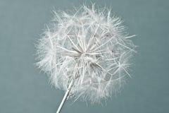Fond abstrait de fleur de pissenlit, plan rapproché extrême. Photographie stock