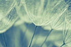 Fond abstrait de fleur de pissenlit, plan rapproché extrême Grand pissenlit sur le fond naturel Photos libres de droits