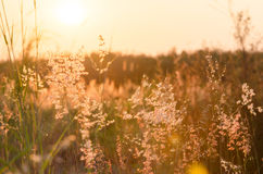 Fond abstrait de nature avec l'herbe fleurissante dans le pré Photographie stock