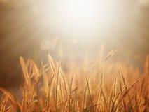 Fond abstrait de nature d'été avec l'herbe dans le pré et le coucher du soleil dans le dos Photo libre de droits