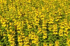 Fond abstrait des fleurs jaunes Images libres de droits