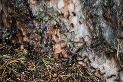 Fond abstrait des fourmis sur un tronc d'arbre photo libre de droits