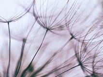 Fond abstrait pourpre de fleur de pissenlit de vintage Photo libre de droits