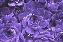 Fond abstrait ultra-violet - plan rapproché de calcare de Sempervivum images libres de droits