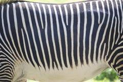 Fond ANIMAL de texture - fourrure de zèbre Photographie stock libre de droits