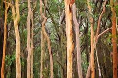 Fond australien abstrait de forêt d'eucalyptus Images stock