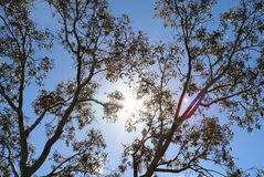 Fond australien d'arbre de gomme Images libres de droits