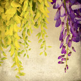 Fond avec de belles fleurs jaunes et bleues d'acacia. Vin Photos libres de droits