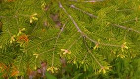 Fond avec des branches d'arbre de sapin avec les aiguilles et les bourgeons verts clips vidéos