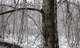 Fond avec des branches de bouleau couvertes de la glace image stock