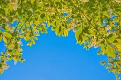 Fond avec des feuilles d'oiseau-cerise Image stock