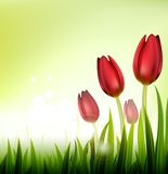 Fond avec des tulipes Photographie stock