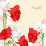 Fond avec l'amaryllis rose rouge Photos libres de droits