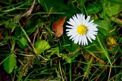 Fond avec la camomille blanche sur l'herbe verte Images libres de droits