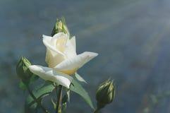 Fond avec la rose de blanc Photos stock
