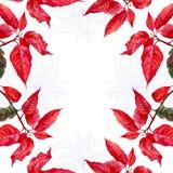 Fond avec le bouquet de la poinsettia rouge Photos stock
