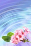 Fond avec le géranium de fleurs Image libre de droits