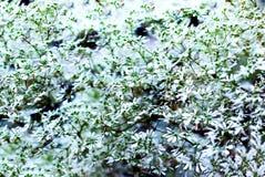 Fond avec les fleurs blanches minuscules, brouillées Images stock