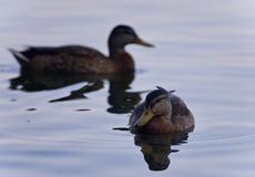 Fond avec quelques canards nageant Photographie stock libre de droits