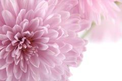 Fond avec un chrysanthemum Photographie stock libre de droits
