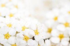 Fond avec un grand groupe de jasmin sauvage Photos stock