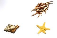 Fond avec une étoile de mer et deux coquilles différentes de mer image stock