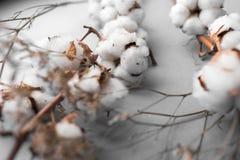 Fond blanc avec la branche de l'usine de coton Images stock