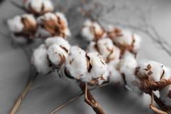 Fond blanc avec la branche de l'usine de coton Photographie stock libre de droits