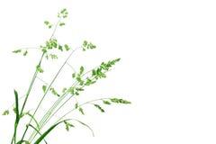 Fond blanc avec le branchement simple de l'herbe verte Photo stock