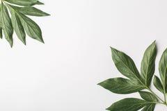 Fond blanc avec les feuilles vertes, composition plate Photo libre de droits