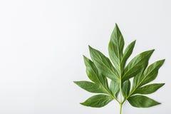 Fond blanc avec les feuilles vertes, composition plate Images stock