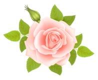 Fond blanc avec Rose Flower rose Vecteur Images stock