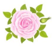 Fond blanc avec Rose Flower rose Vecteur Photo stock