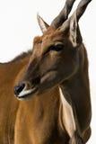 Fond blanc d'alcina d'Antilope d'Eland d'isolement Photo libre de droits