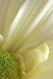 Fond blanc d'instruction-macro de fleur de chrysanthemum Photo libre de droits