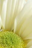 Fond blanc d'instruction-macro de fleur de chrysanthemum Photographie stock