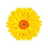 Fond blanc d'isolement par fleur jaune de gerbera Photographie stock libre de droits